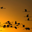 Flying flamingos at sunset — Stock Photo