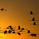Flying flamingos at sunset — Stock Photo