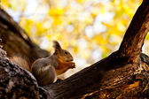 Red squirrel eats a nut, sitting in a tree — Stock Photo