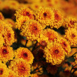 Stock Photo: Bicolor chrysanthemum