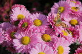 Pink chrysanthemum with a butterfly — Stock Photo