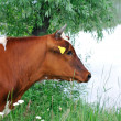Portrait of a brown cow . — Stock Photo