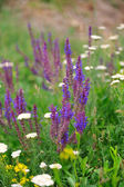 Purple Sage Meadow. — 图库照片