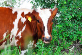 Cow white and brown . — Stock Photo
