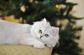 Gato blanco de ojos verde en otomano, mirando hacia arriba. — Foto de Stock