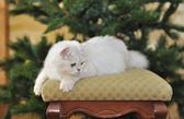 White green-eyed cat lying on ottoman. — Stock Photo