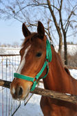 Brown horse in winter time. — Stock Photo