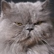 Big fat persian cat - Foto Stock