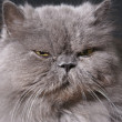 Big fat persian cat - Stock Photo