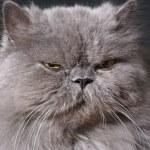 büyük şişman Farsça kedi — Stok fotoğraf