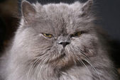 Big fat persian cat — Stock Photo