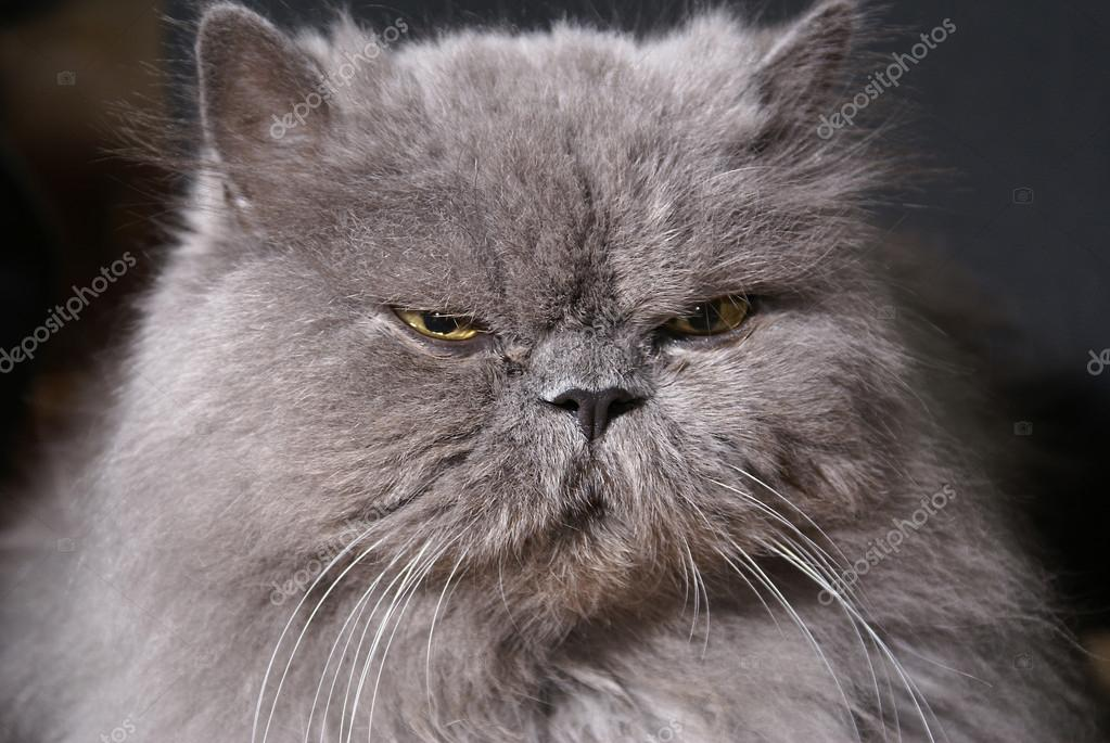 Head of big fat persian cat on dark background        — Stock Photo #14986447