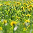 Dandelion meadow - Stock Photo