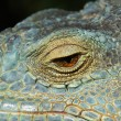 Eye of the chameleon - Stock Photo