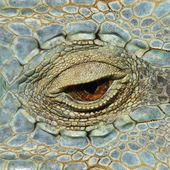 Eye of the chameleon — Stock Photo