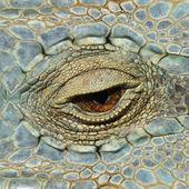 Eye of the chameleon — Stock Photo