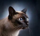 Portrait of the siamese cat — Stock Photo