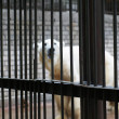 Sad and lonely polar bear in the cage — Stock Photo #29548975