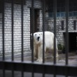 Sad and lonely polar bear in the cage — Foto Stock