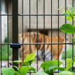Stock Photo: Sad and lonely tiger in cage