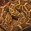 Close up of the bright, big and colorful anaconda snake — Stock Photo #29549379
