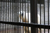 Sad and lonely polar bear in the cage — Stock Photo