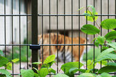 Sad and lonely tiger in the cage — Stock Photo