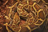 Close up of the bright, big and colorful anaconda snake — Stock Photo