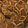 Close up of the bright, big and colorful anaconda snake — Stock Photo