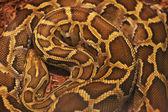 Jasne, duże i kolorowe anakonda węża z bliska — Zdjęcie stockowe