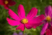космос цветок — Стоковое фото