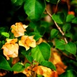 Stock Photo: Bougainvilleorange flowers