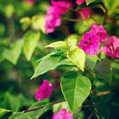 Bougainvillea růžová květiny — Stock fotografie