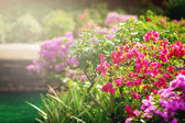 Bougainvillea flowers in a garden — Stock Photo