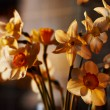 Spring flowers daffodils in the setting sunlight — Stock Photo