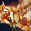 Spring flowers daffodils in the golden sunlight — Stock Photo