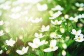 Fresh white flowers in sunlight — Stock Photo