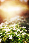 Fresh white flowers in sunlight — Stock Photo