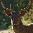 Stag portrait - Stock Photo