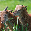 Brothers goats - Stock Photo