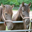 Sweet horses — Stock Photo