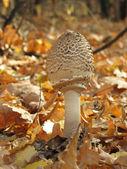 Funghi d'autunno — Foto Stock