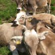 Group of cows relaxing — Foto de Stock