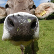 Head of a Cow — Foto de Stock