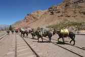 Horses at Puente del Inca — Photo