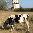 Stock Photo: Cow and watchtower at site Burma
