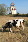 Cow and watchtower at the site Burma — Stock Photo