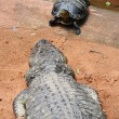 Stock Photo: Turtle and crocodile challenge