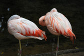Flamingo Parque das Aves Iguasu, Brasil — Stock Photo