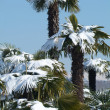 Palm Trees with Snow on it - Stock Photo